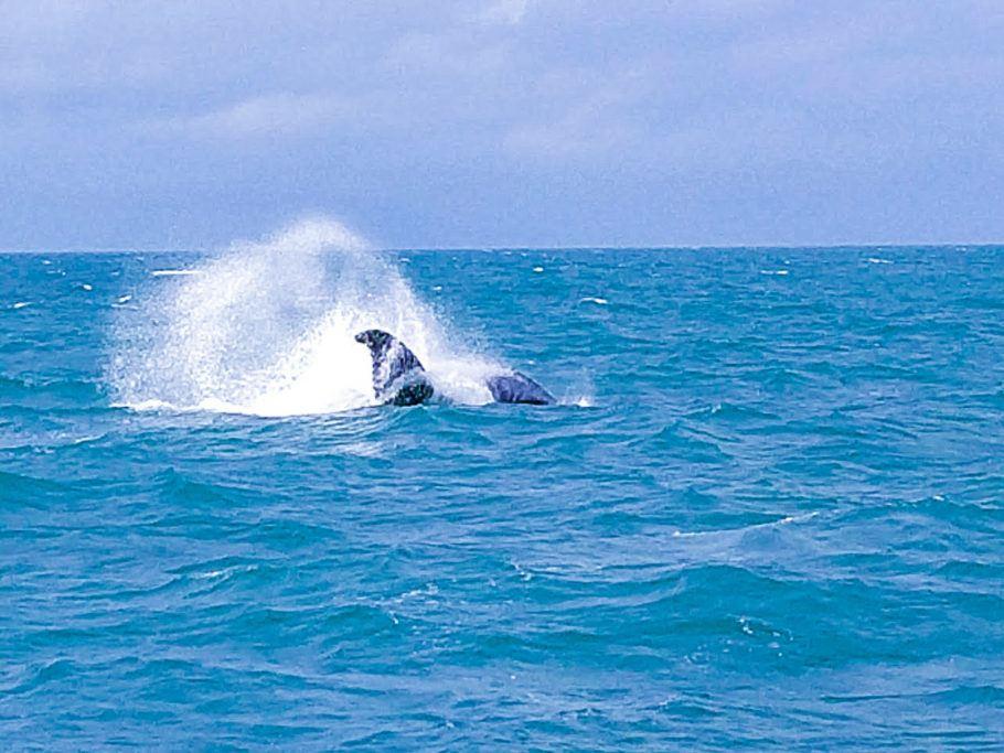 Baleias Jubarte atraem turistas até Prado, na Bahia